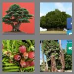 4 pics 1 word 3 letters yew