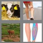 4 pics 1 word 4 letters calf