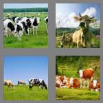 4 pics 1 word 4 letters cows