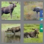 4 pics 1 word 5 letters moose