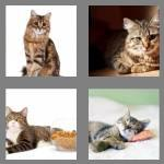 4 pics 1 word 5 letters tabby