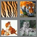 4 pics 1 word 5 letters tiger
