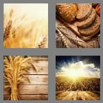 4 pics 1 word 5 letters wheat