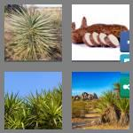 4 pics 1 word 5 letters yucca