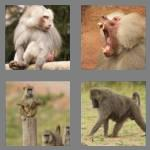 4 pics 1 word 6 letters baboon