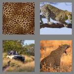 4 pics 1 word 7 letters leopard
