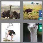 4 pics 1 word 7 letters ostrich