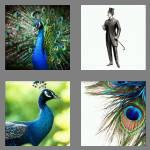 4 pics 1 word 7 letters peacock