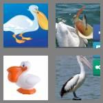 4 pics 1 word 7 letters pelican