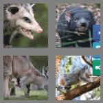 4 pics 1 word 9 letters marsupial