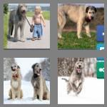 4 pics 1 word 9 letters wolfhound